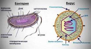 Вирусы и бактерии