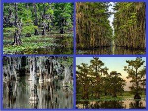 Величественные кипарисы озера Каддо