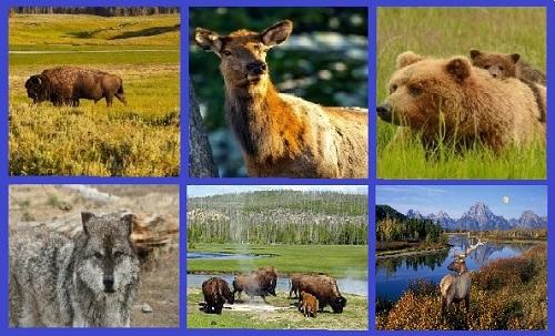 Животный мир Йеллоустонского национального парка