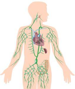 Потоки лимфы в организме человека