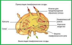 Структура лимфоузла