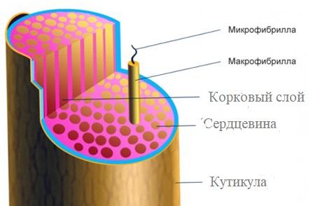 Поперечное сечение волоса