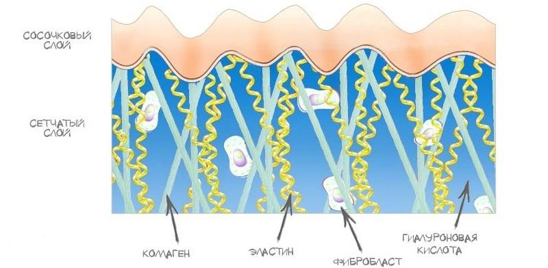Структура дермы кожи человека