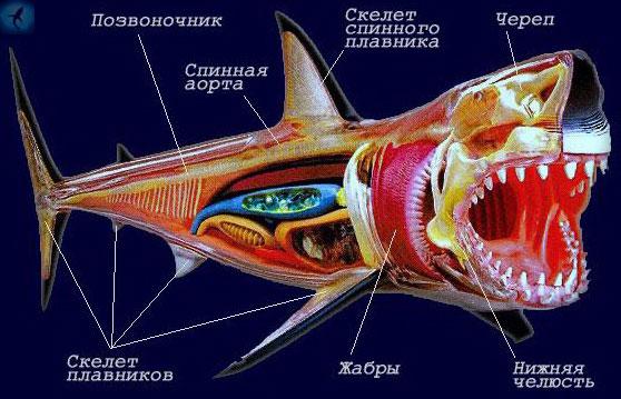 Анатомия акулы