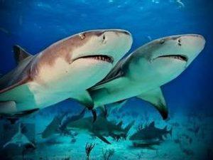 Брачные игры песчаных акул