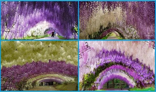 Тоннель Вистерия. Япония
