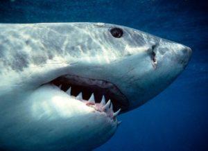 зубы и челюсти акулы