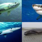 Самоубийство акул – показатель экологической чистоты окружающей среды