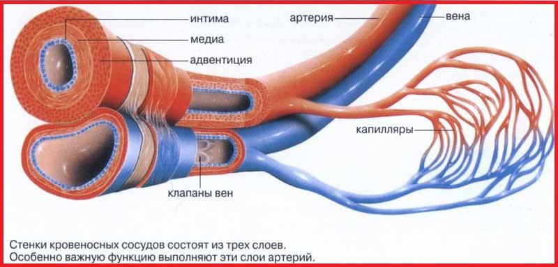Артерии (красные), вены (синие) и им соответствующие капилляры