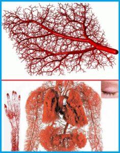 Капиллярная сеть кровеносной системы человека