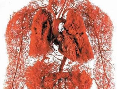 Кровеносная система и капиллярная сеть