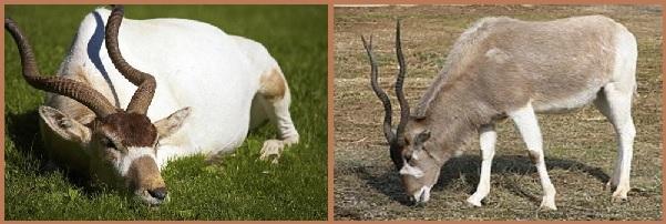Аддакс или антилопа мендес