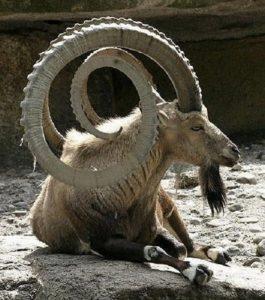 Альпийский горный козел, козерог или ибекс