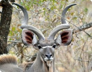 Большой куду или антилопа куду