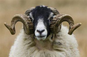 Британская овца