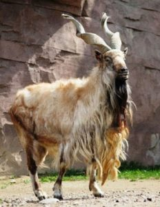 Винторогий козел или мархур