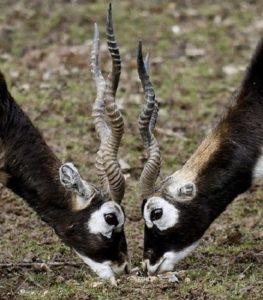 Гарна, винторогая антилопа или сасси