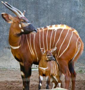Африканская антилопа бонго