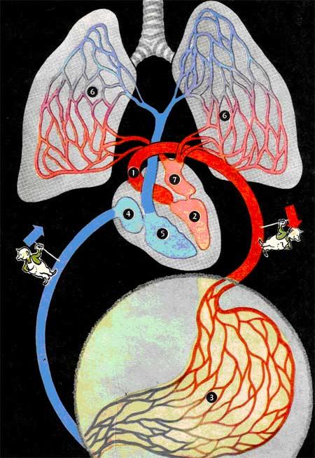 Движение крови в организме человека