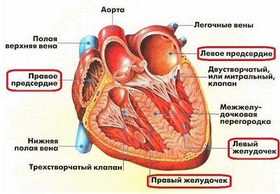 Устройство Сердца Человека