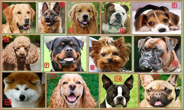 13 самых популярных собаки Америки