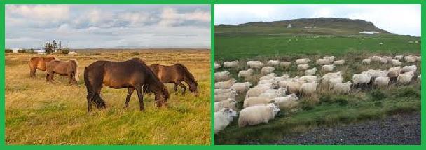 Животноводство Исландии